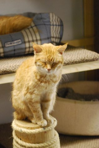 Ginger, an orange cat known as the Touched By A Paw mascot – as she's been there for 16 years – purrs as she sits on a scratching post. Vesna Brajkovic photo/ BrajkoviVA04@uww.edu