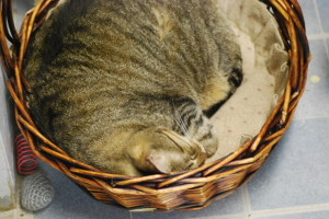 A cat from sleeping in a wicker basket at the Touched By A Paw cat shelter.  Vesna Brajkovic photos/ BrajkoviVA04@uww.edu