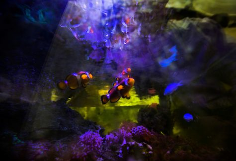 Clownfish appear to examine their reflection in the water surface in an aquarium in the biology lab of assistant professor Stephen Levas at Upham Hall on the UW-Whitewater campus on Friday, Jan. 10, 2020.