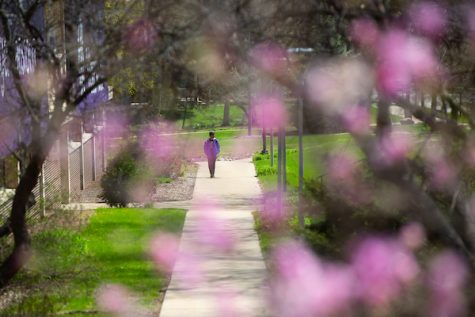 A sidewalk along the Main Street side of Andersen Library, through magnolia blossoms, on April 23, 2019.  (UW-Whitewater photo/Craig Schreiner)